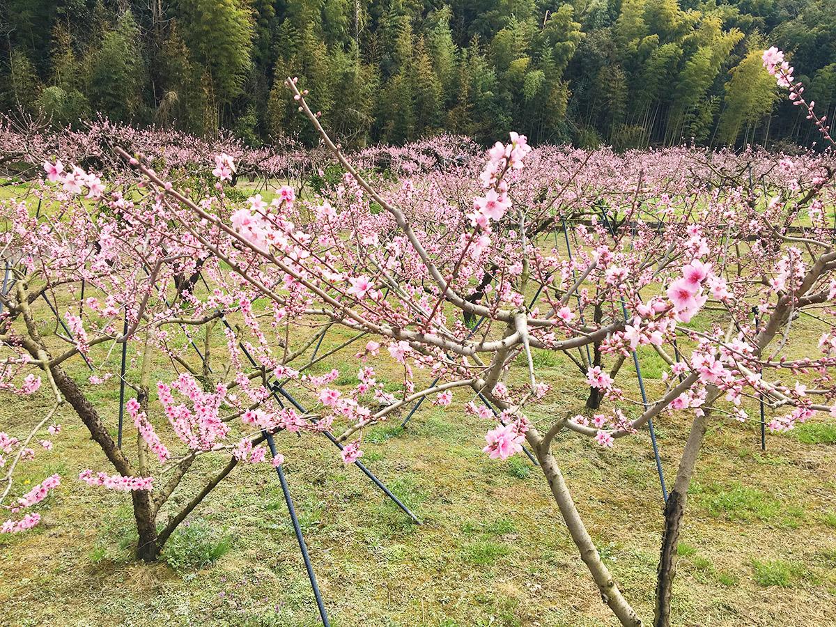 紀の川市で見頃を迎える桃